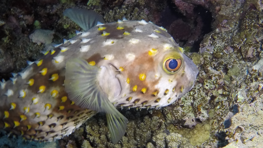 Porcupine fish at a night dive