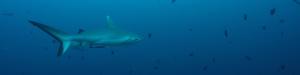 grey reef shark