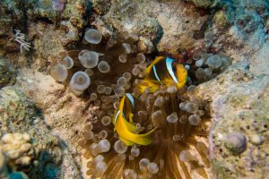 Nemo (clown fishes) huddeling into their anemone
