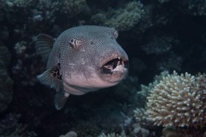 A large pufferfish showing his teeth