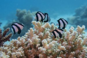 Just as clown fishes use anemones these fellas use a hard coral for protection