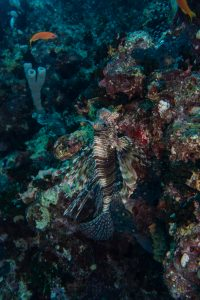 Lion fish in a cave