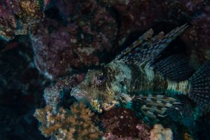 Lion fish luring for prey