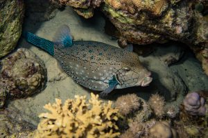 A funny looking blue spotted boxfish