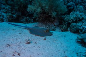 A blue spotted stingray resting on the sea bed