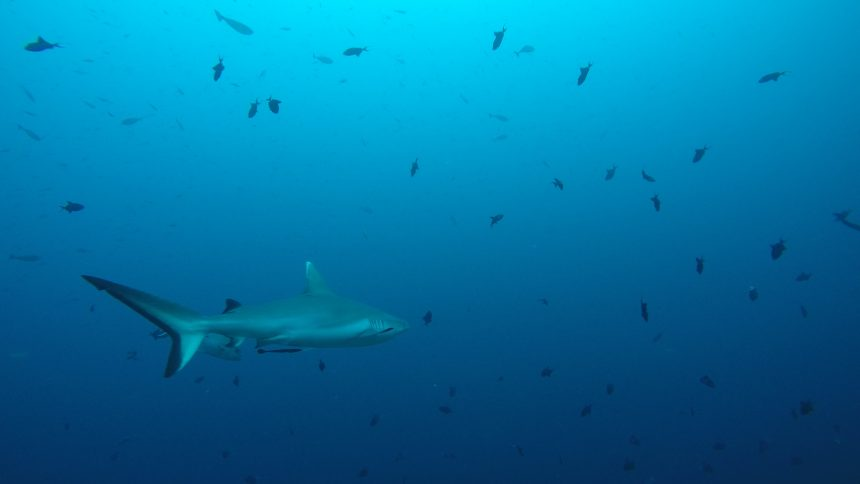Gray reef shark in the channel between two atolls in the Maldives