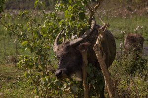 Water buffalo scratching his neck, he did not let himself being distracted during this task.