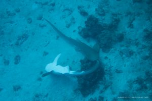 Mating Leopard sharks