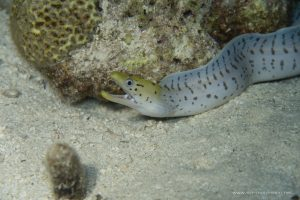 Fimbriated moray seen during a night dive
