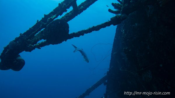A Tarpon patrolling the wreck